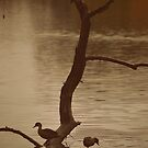 Ducks at Lake Weeroona by Lozzar Landscape