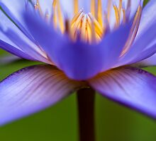 Water Lily  by 3523studio
