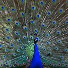 Vainglorious peacock by annalisa bianchetti