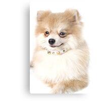 Pomeranian dog over white Metal Print