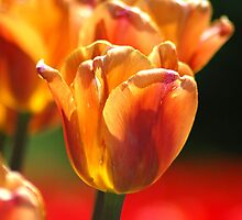 Red and Yellow Tulip  by michaelshelley
