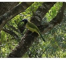 Green Jay  Photographic Print