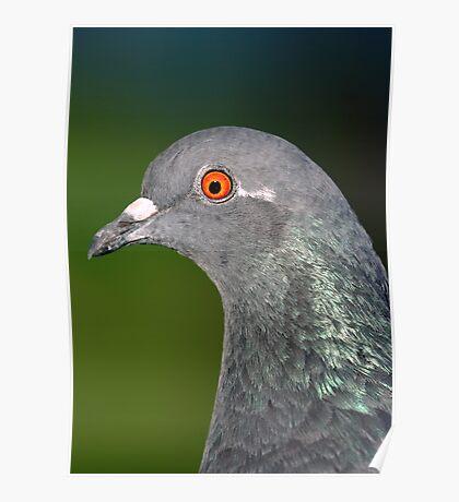 Rock Dove Poster