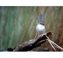 Superb Fairy Wren Photographic Print