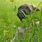 Pug by Reg1