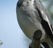 Grey Butcher Bird Sticker