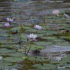 Lotus Blooms  by Margaret Stanton