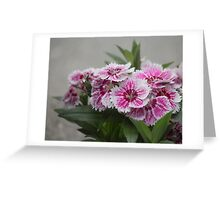 Sweet William growing in a garden Greeting Card