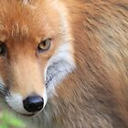 red fox by weecoughimages