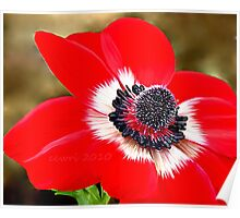 Sweet Serenity, Red Anemone Poster