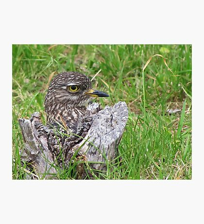 Spotted thick knee Photographic Print
