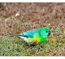 Red Rumped Parrot Photographic Print