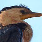 A Little Pied Cormorant - From Afar by stevealder