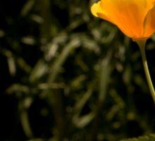 California Poppy in Full Bloom  Sticker