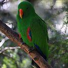 Male Eclectus Parrot  - Mcilraith Range - FNQ  by john  Lenagan