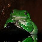 Meditating  -  Litoria Caerulea  - Atherton Tableland - FNQ by john  Lenagan