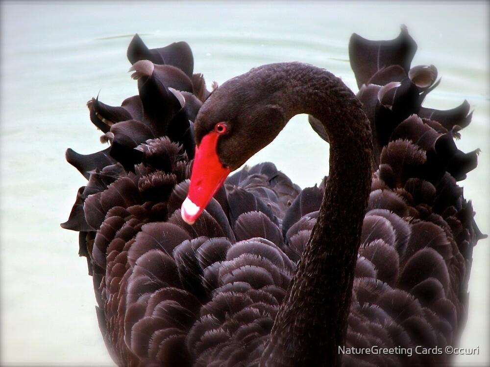 Black Swan by NatureGreeting Cards ©ccwri