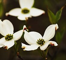 Dogwood Flowers by Jena  Oster