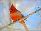 Cardinal Red by NatureGreeting Cards ©ccwri
