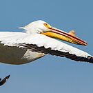 Close Up Of Pelican In Flight by Thomas Young