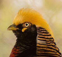530 golden pheasant by pcfyi