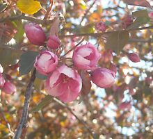 Blossoms by SaraNS