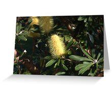 Banksia at Lennox Head Greeting Card