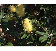 Banksia at Lennox Head Photographic Print