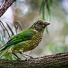 Green Catbird,  by Normf
