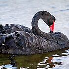 Black Swan  by Vikki Shedden Photography