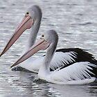 Pelican by Vikki Shedden Photography