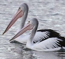 Pelican by Vikki Shedden Photography
