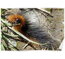 Tiger Moth caterpillar munching Poster