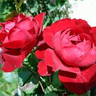 Red roses by Ana Belaj