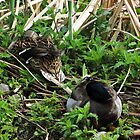 Pair Sleeping Mallards by Marie Van Schie