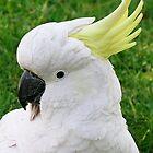 Silver Crested Cockatoo by davidandmandy