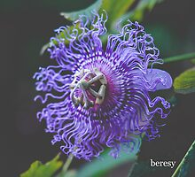 Purple Passion Flower by beresy