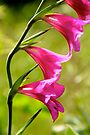 Wild Gladiolas by NatureGreeting Cards ©ccwri