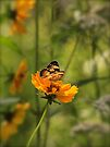 Flying Flowers, butterfly on coreopsis wildflower. by NatureGreeting Cards ©ccwri