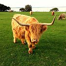Highland Cow No. 1 by Sally McLean