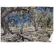 Darling River gums Poster