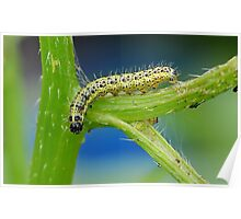 Cabbage White Caterpillar Poster