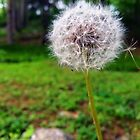 Make A Wish With A Dandelion  by daphsam