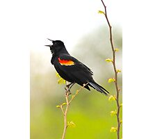 Red Wing Blackbird singing its heart out Photographic Print