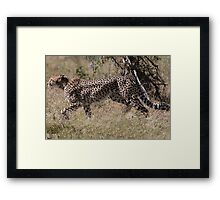 Cheetah on the Hunt Framed Print