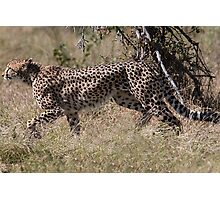 Cheetah on the Hunt Photographic Print
