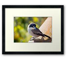 Butcher Bird at Binna Burra Framed Print