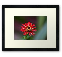 Zinnia waking Framed Print