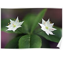 Starflowers - Late Afternoon Light Poster