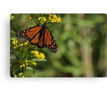 Monarch Butterfly on Goldenrod, As Is Canvas Print